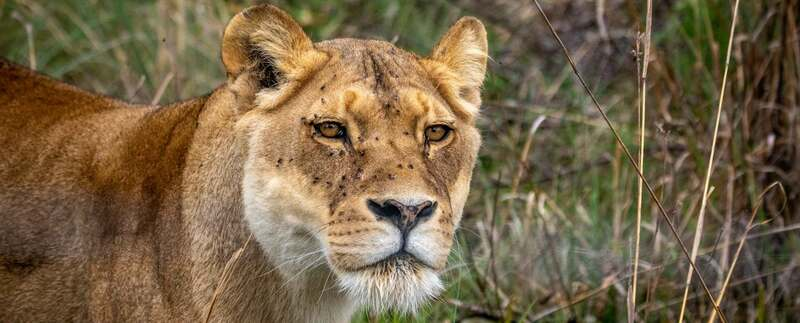 Львица, Южная Африка
