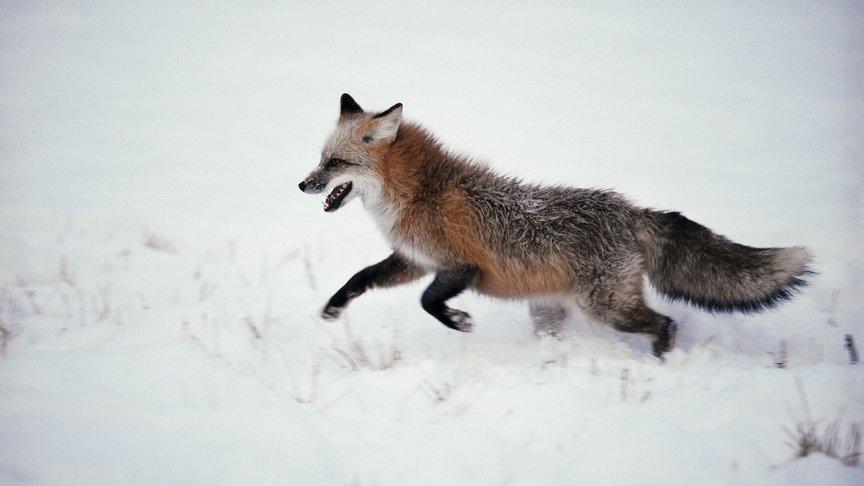 Вслободе Дымково дикая лиса напала наребенка